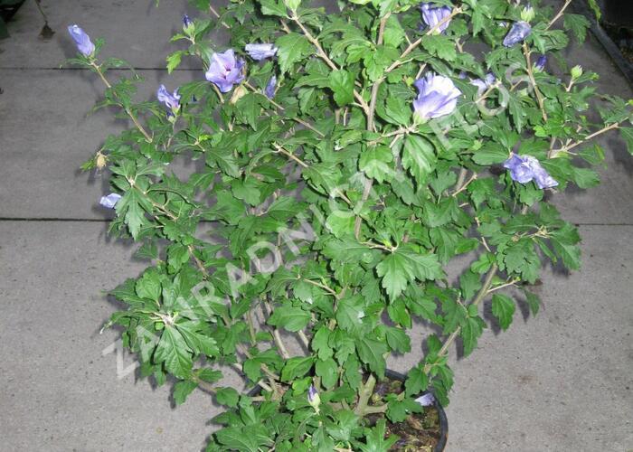 Ibišek syrský 'Marina' - Hibiscus syriacus 'Marina'