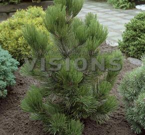 Borovice bělokorá 'Satellit' - Pinus heldreichii 'Satellit'