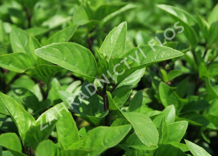 Bazalka pravá 'Tauris' - Ocimum basilicum 'Tauris'