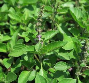Bazalka 'Cresto' - Ocimum species 'Cresto'