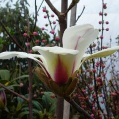Šácholan 'Sunrise' - Magnolia 'Sunrise'