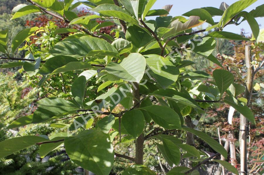 Šácholan 'Elizabeth' - Magnolia brooklynensis 'Elizabeth'