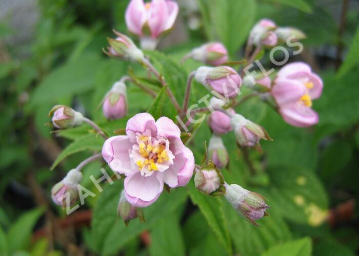 Trojpuk zvrhlý 'Mont Rose' - Deutzia 'Mont Rose'