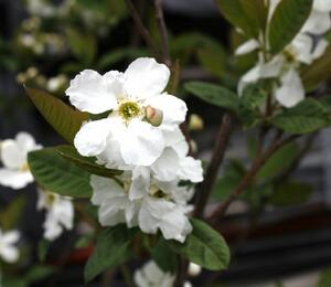 Hroznovec 'Snow White' - Exochorda serratifolia 'Snow White'