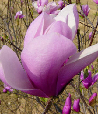 Šácholan 'Jane' - Magnolia 'Jane'
