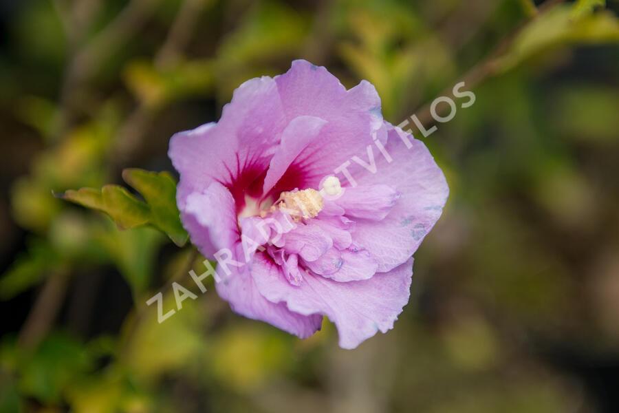 Ibišek syrský 'Hamabo' - Hibiscus syriacus 'Hamabo'