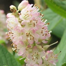 Jochovec olšolistý 'Pink Spire' - Clethra alnifolia 'Pink Spire'