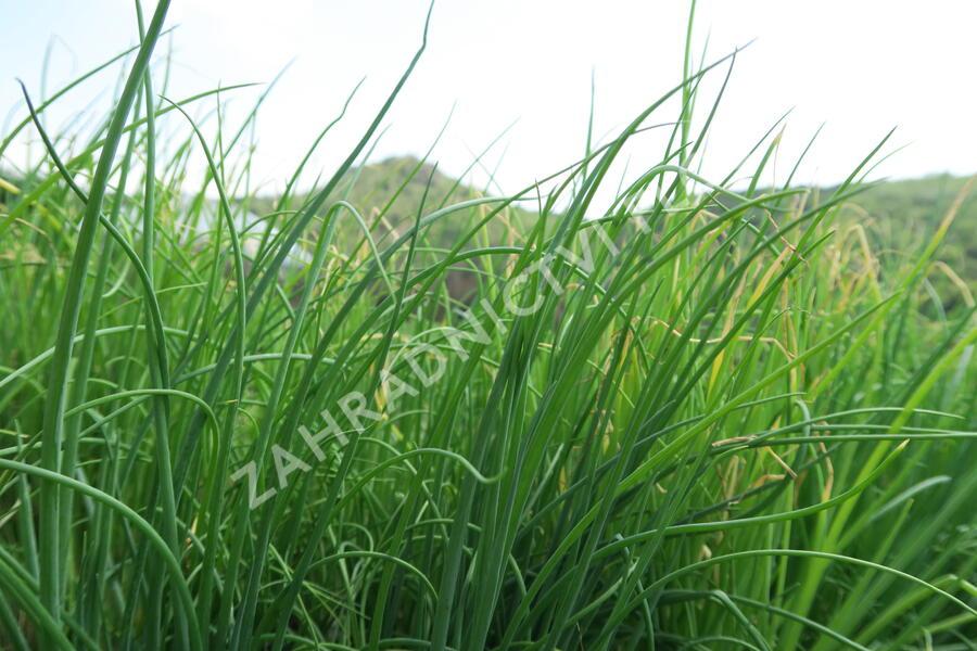 Cibule zimní sečka 'Strada' - Allium fistulosum 'Strada'