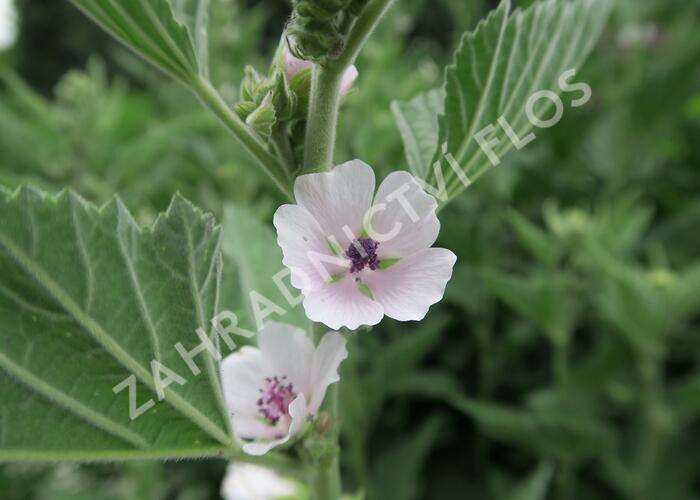 Proskurník lékařský - Althaea officinalis