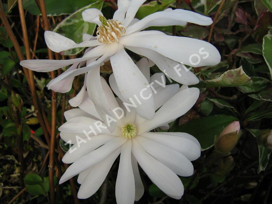 Šácholan hvězdokvětý 'Rosea' - Magnolia stellata 'Rosea'