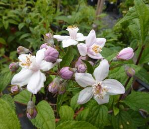 Trojpuk růžový - Deutzia rosea