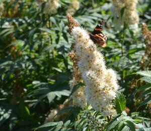 Tavolníkovec jeřábolistý - Sorbaria sorbifolia