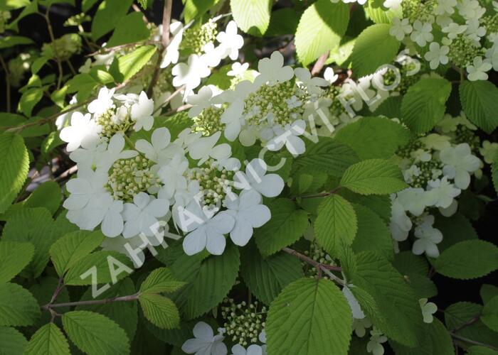 Kalina japonská 'Shasta' - Viburnum plicatum 'Shasta'