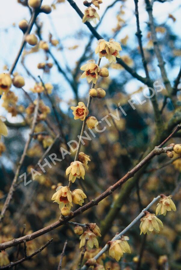 Zimokvět časný - Chimonanthus praecox