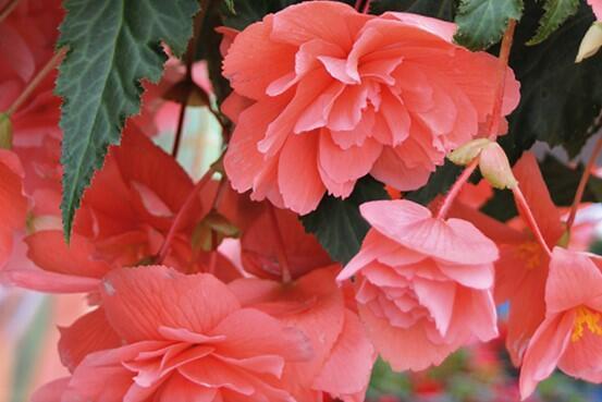 Begónie hlíznatá 'Illumination Salmon Pink' - Begonia tuberhybrida 'Illumination Salmon Pink'