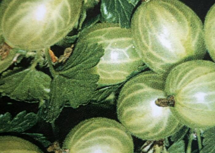 Angrešt zelený 'Bílý Nádherný' - Grossularia uva crispa 'Bílý Nádherný'