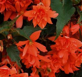 Begónie hlíznatá 'Illumination Orange' - Begonia tuberhybrida 'Illumination Orange'