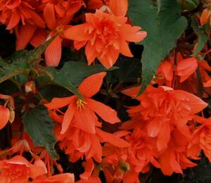 Begónie hlíznatá 'Illumination Orange' - Begonia tuberhybrida 'Illumination Orange'
