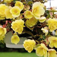 Begónie hlíznatá 'Illumination Lemon' - Begonia tuberhybrida 'Illumination Lemon'