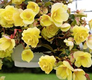 Begónie hlíznatá 'Illumination Lemon' - Begonia tuberhybrida 'Illumination Lemon'