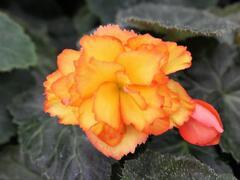 Begónie hlíznatá 'Illumination Golden Picotee' - Begonia tuberhybrida 'Illumination Golden Picotee'