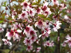 Slivoň vyříznutá 'February Pink' - Prunus incisa 'February Pink'