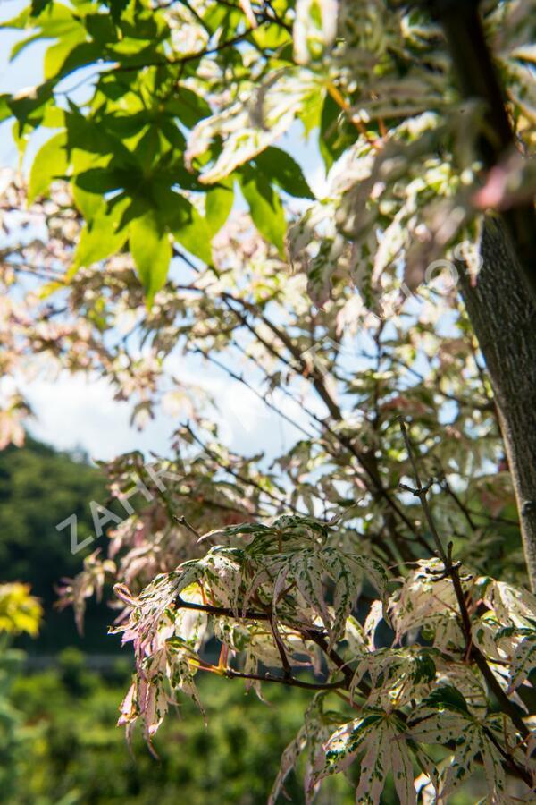 Javor dlanitolistý 'Ukigumo' - Acer palmatum 'Ukigumo'