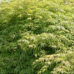 Javor dlanitolistý 'Dissectum Viridis' - Acer palmatum 'Dissectum Viridis'