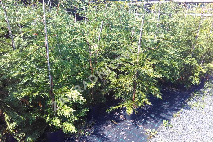 Cypřišovec Leylandův - Cupressocyparis leylandii