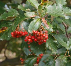 Jeřáb prostřední - Sorbus intermedia