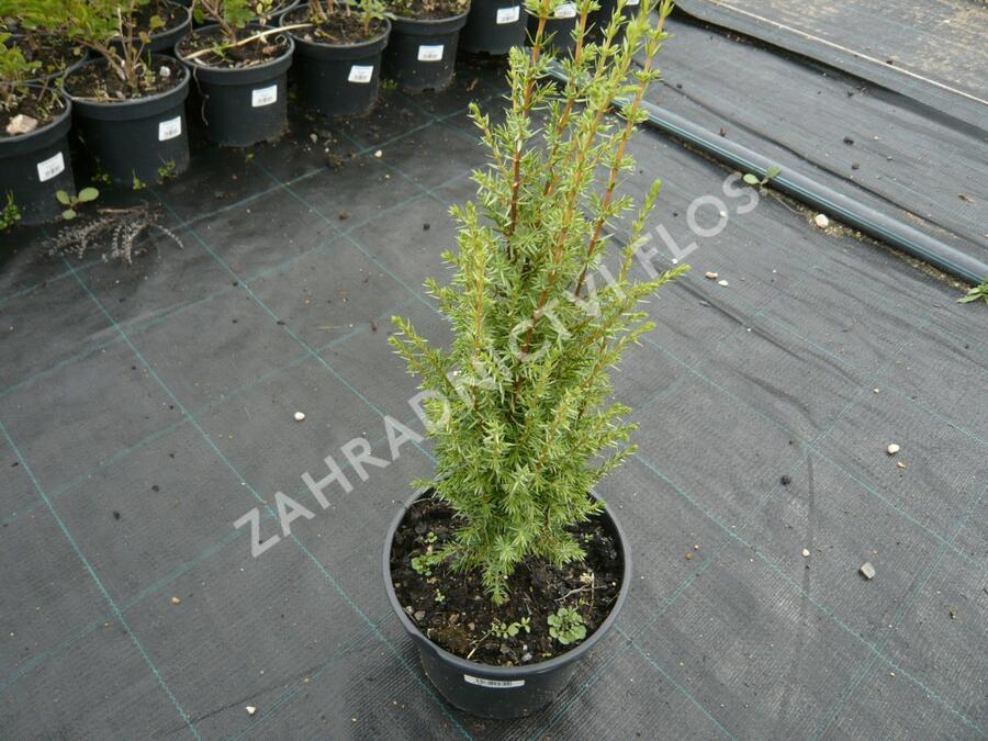 Jalovec obecný 'Arnold' - Juniperus communis 'Arnold'