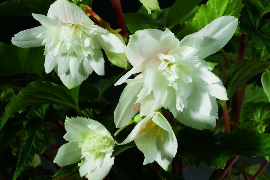 Begónie hlíznatá 'Tenella White' - Begonia tuberhybrida 'Tenella White'