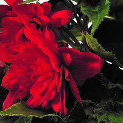 Begónie hlíznatá 'Tenella Scarlet' - Begonia tuberhybrida 'Tenella Scarlet'