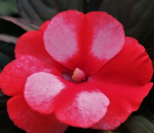 Netýkavka 'Paradise Orange Neptis' - Impatiens Neu-Guinea 'Paradise Orange Neptis'