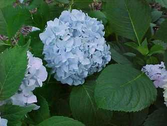 Hortenzie velkolistá 'Nikko Blue' - Hydrangea macrophylla 'Nikko Blue'