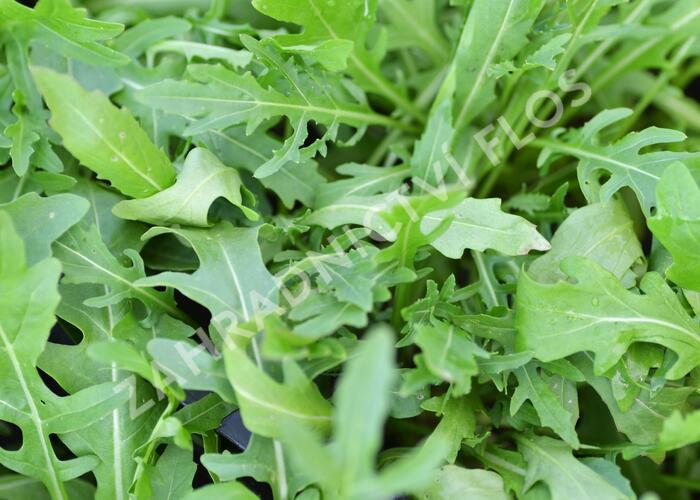 Křez tenkolistý 'Grazia' - Diplotaxis tenuifolia 'Grazia'