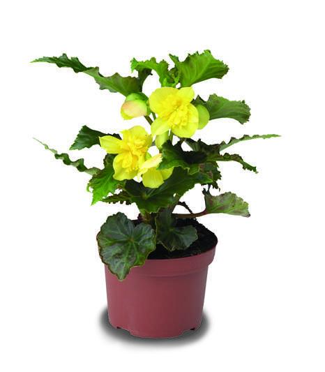 Begónie hlíznatá 'Tenella Yellow' - Begonia tuberhybrida 'Tenella Yellow'
