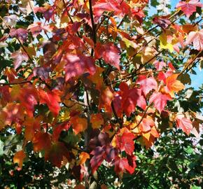 Javor červený 'Red Sunset' - Acer rubrum 'Red Sunset'