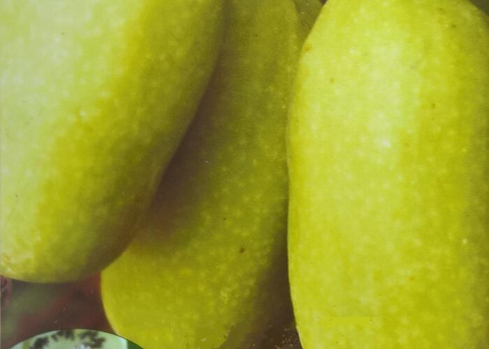 Aktinidie význačná, kiwi - samosprašná 'VITIKIWI' - Actinidia arguta 'VITIKIWI'