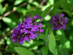 Motýlí keř, Komule Davidova 'Border Beauty' - Buddleia davidii 'Border Beauty'