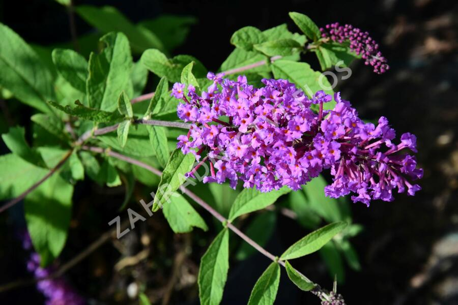 Motýlí keř, Komule Davidova 'Border Beauty' - Buddleia davidii 'Border Beauty'