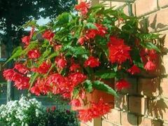 Begónie hlíznatá 'Tenella Rose' - Begonia tuberhybrida 'Tenella Rose'
