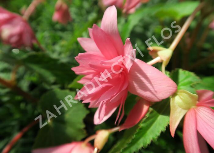 Begónie hlíznatá 'Tenella Pink' - Begonia tuberhybrida 'Tenella Pink'