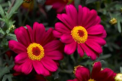 Kopretina pařížská 'Molimba Deep Rose' - Argyranthemum frutescens 'Molimba Deep Rose'