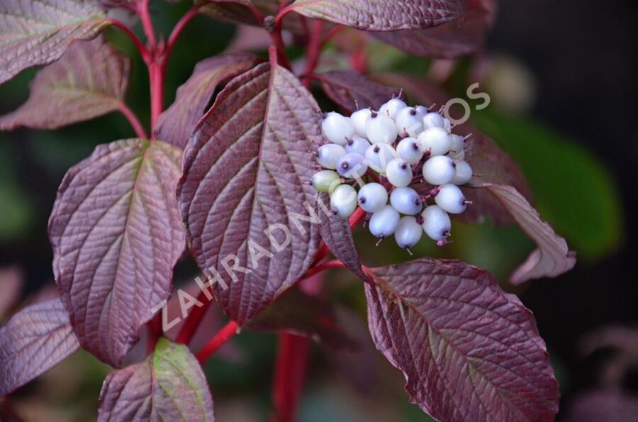 Svída bílá 'Sibirian Pearls' - Cornus alba 'Sibirian Pearls'