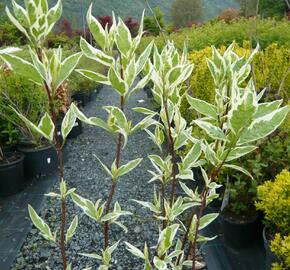 Svída bílá 'Elegantissima' - Cornus alba 'Elegantissima'