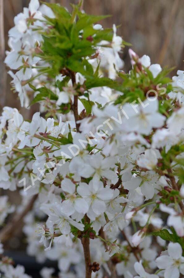Třešeň kurilská 'Brillant' - Prunus kurilensis 'Brillant'