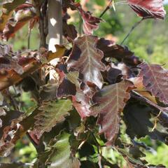 Buk lesní 'Rohanii' - Fagus sylvatica 'Rohanii'