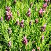 Levandule korunkatá 'Javelin Forte Deep Rose' - Lavandula stoechas 'Javelin Forte Deep Rose'