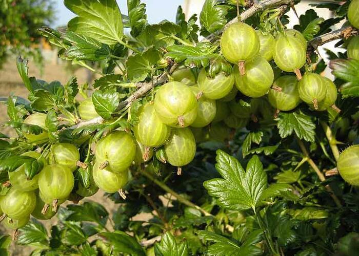 Angrešt žlutý 'Rixanta' - Grossularia uva crispa 'Rixanta'